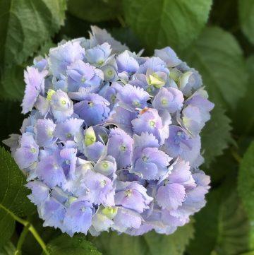 mophead hydrangea purple